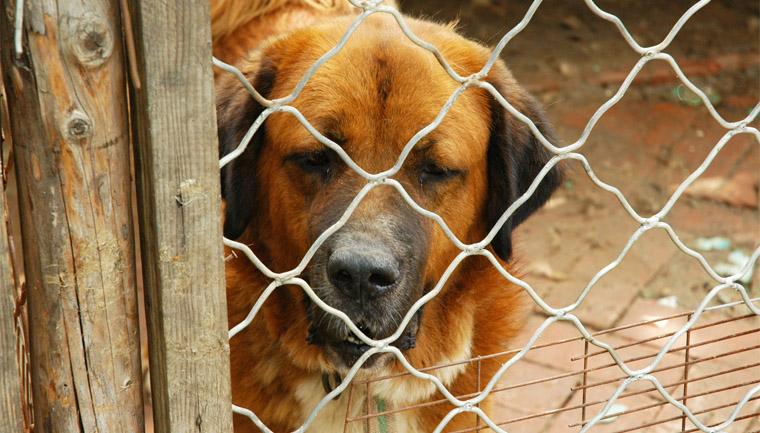 Lei em Florianópolis proíbe cachorros de ficarem presos ou acorrentados