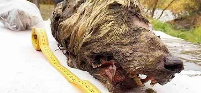 Enorme cabeça de lobo de 32 mil anos é encontrada na Sibéria